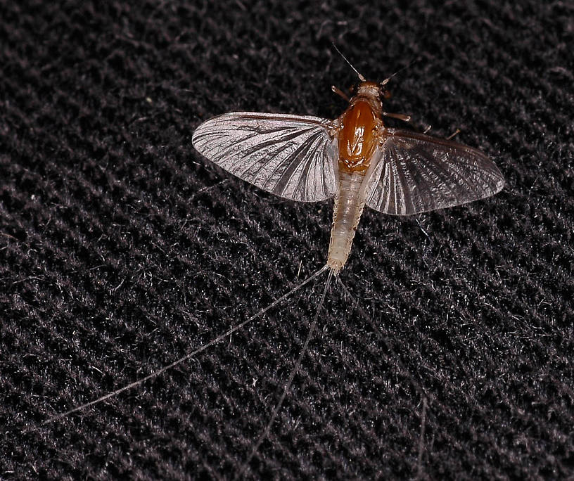 Caenis (Angler's Curses) Mayfly Adult from Kicking Horse Reservoir in Montana