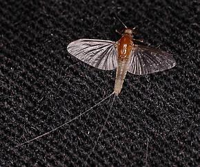 Caenis (Angler's Curses) Mayfly Adult