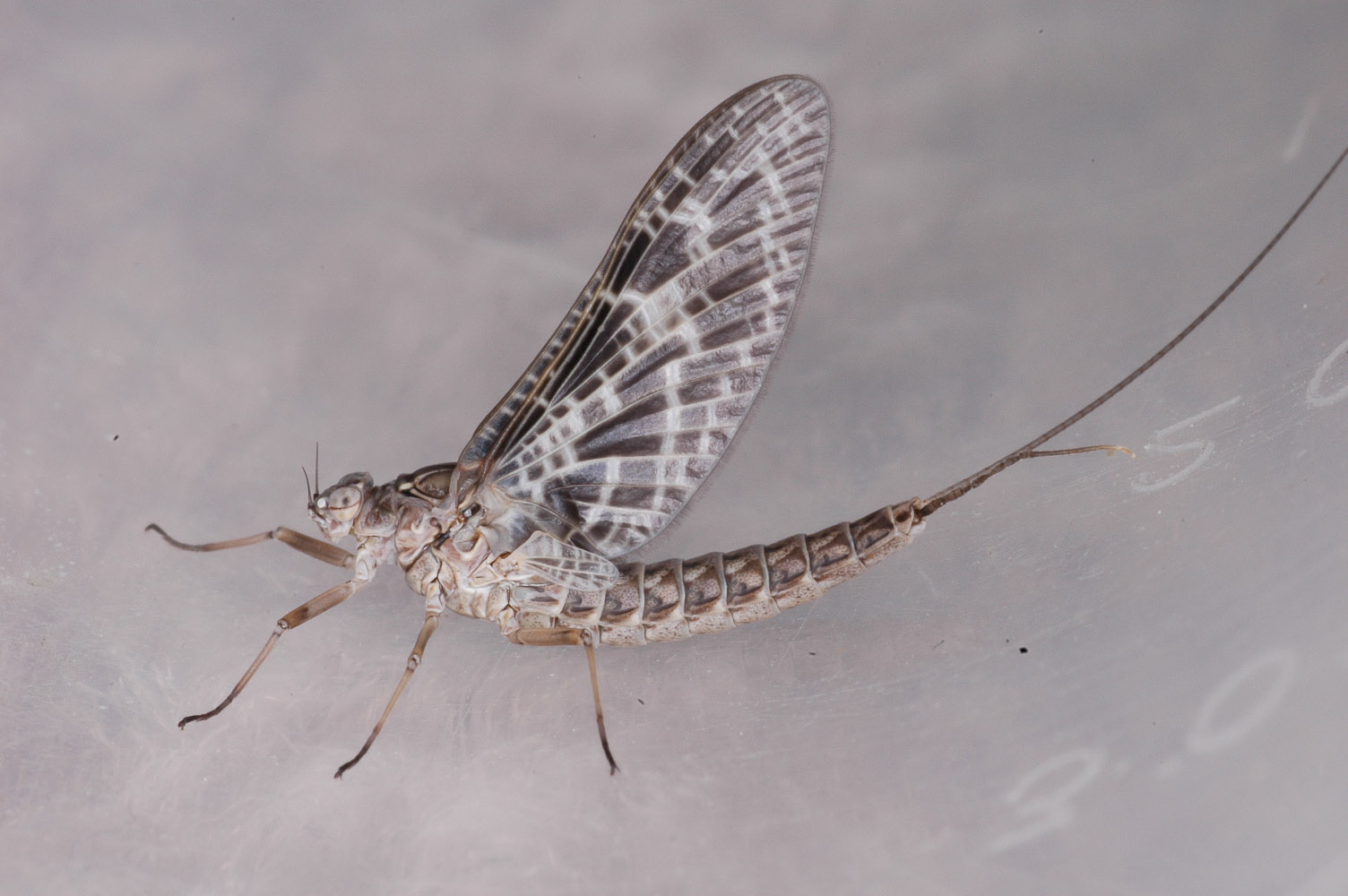 Female Callibaetis (Speckled Spinners) Mayfly Dun from Flathead Lake in Montana