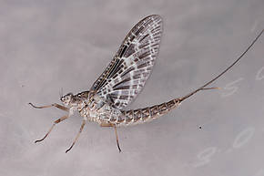 Female Callibaetis (Speckled Duns) Mayfly Dun