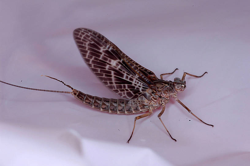 Female Callibaetis (Speckled Duns) Mayfly Dun from Flathead Lake in Montana