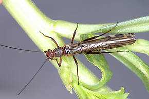 Megaleuctra stigmata (Little Black Needlefly) Stonefly Adult