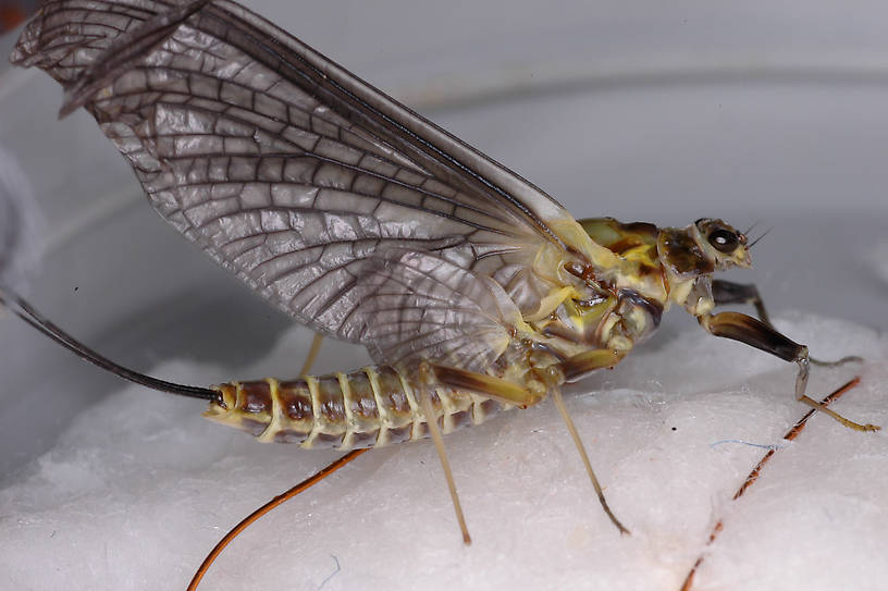 Female Drunella grandis (Western Green Drake) Mayfly Dun from the Jocko River in Montana