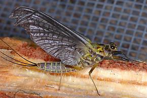 Female Drunella grandis (Western Green Drake) Mayfly Dun