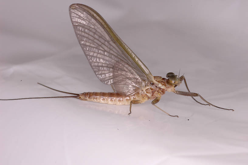 Male Rhithrogena Mayfly Dun from the Vermillion River in Montana