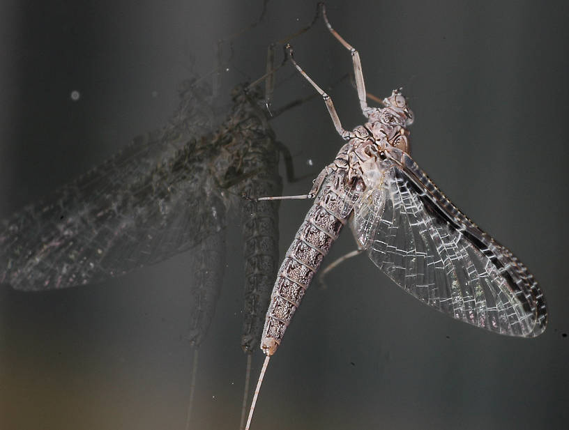 Female Callibaetis (Speckled Spinners) Mayfly Spinner from the Flathead River-lower in Montana