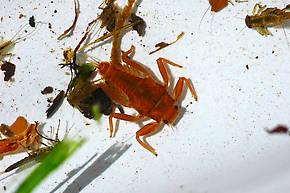 Drunella doddsii (Western Green Drake) Mayfly Nymph
