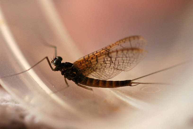 Cinygmula (Dark Red Quills) Mayfly Dun from Boiling Springs Creek in Montana