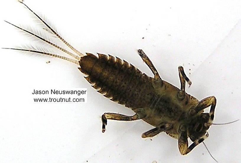 Ephemerella subvaria (Hendrickson) Mayfly Nymph from unknown in Wisconsin