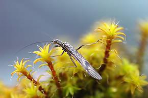 Taenionema pacificum (Willowfly) Stonefly Adult