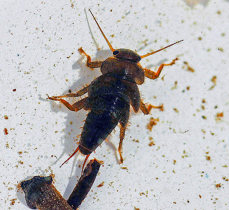 Yoraperla brevis (Roachfly) Stonefly Nymph from Station Creek in Montana