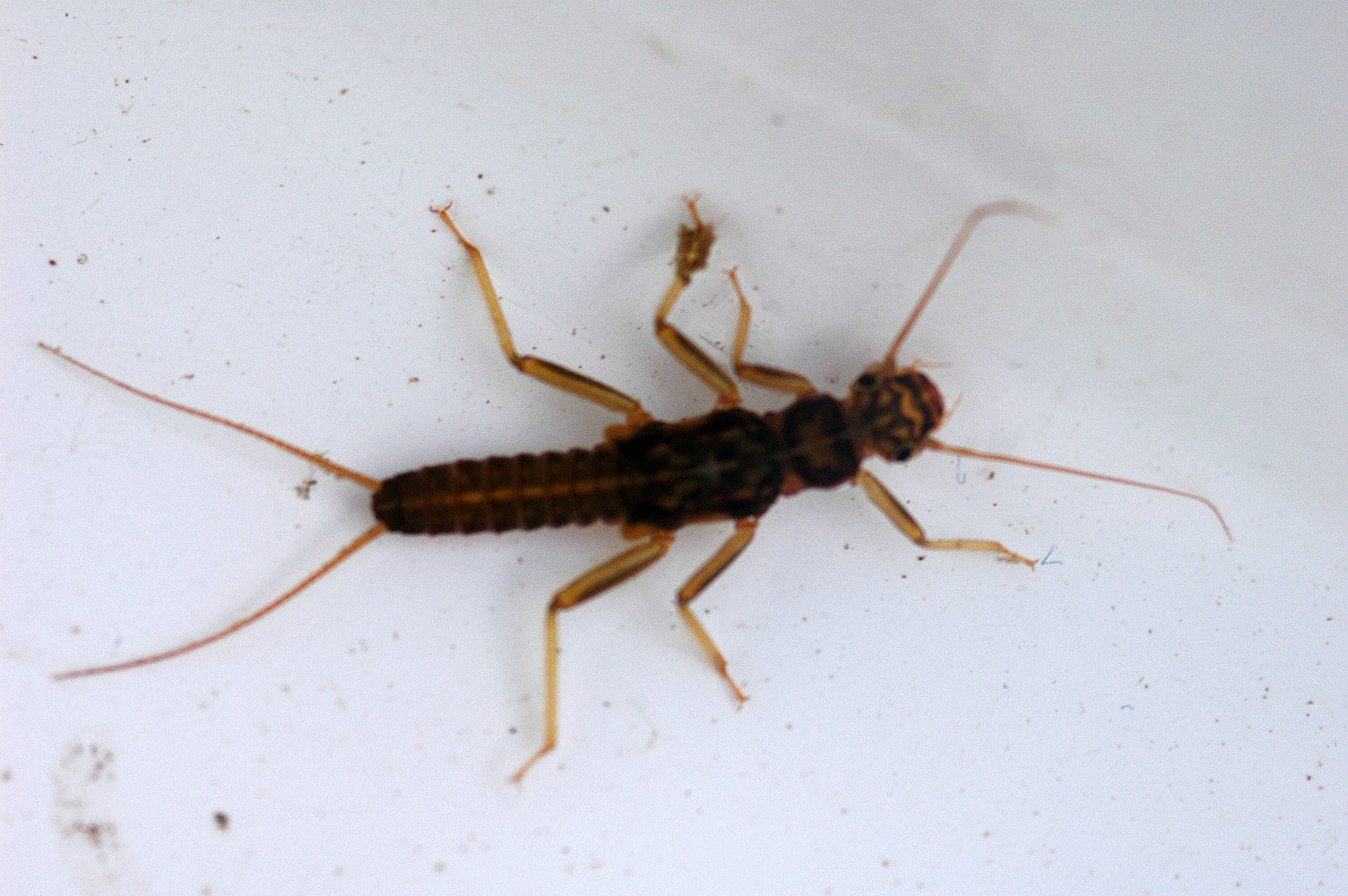 Skwala (Large Springflies) Stonefly Nymph from the Jocko River in Montana