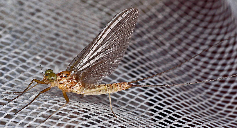 Heptagenia solitaria (Ginger Quill) Mayfly Adult from the Flathead River-lower in Montana