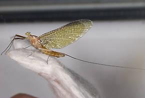 Ironodes nitidus (Slate Maroon Drake) Mayfly Adult