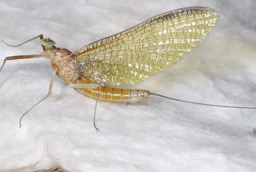 Ironodes nitidus (Slate Maroon Drake) Mayfly Adult from Yellow Bay Creek in Montana