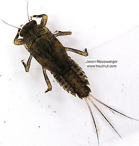 Ephemerella subvaria (Hendrickson) Mayfly Nymph