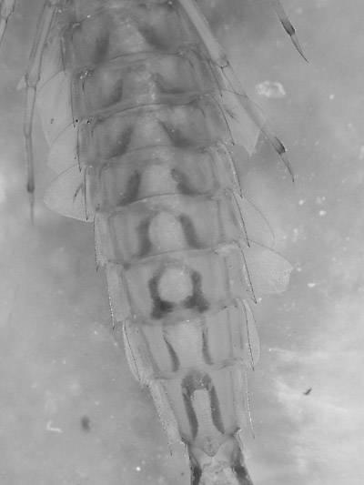 Siphlonurus occidentalis (Gray Drake) Mayfly Nymph from Crazy Beaver Spring in Montana