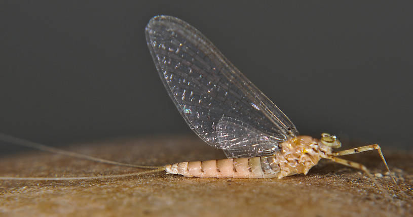 Female Epeorus albertae (Pink Lady) Mayfly Spinner from the Touchet River in Washington