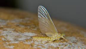 Female Epeorus albertae (Pink Lady) Mayfly Dun