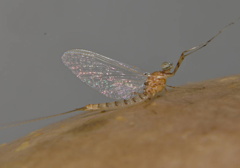 Male Epeorus albertae (Pink Lady) Mayfly Spinner from the Touchet River in Washington