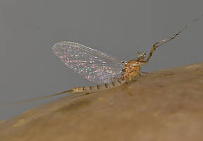 Male Epeorus albertae (Pink Lady) Mayfly Spinner