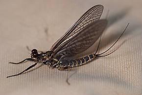 Female Drunella spinifera (Western Slate Olive Dun) Mayfly Dun