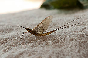 Hexagenia limbata (Hex) Mayfly Dun