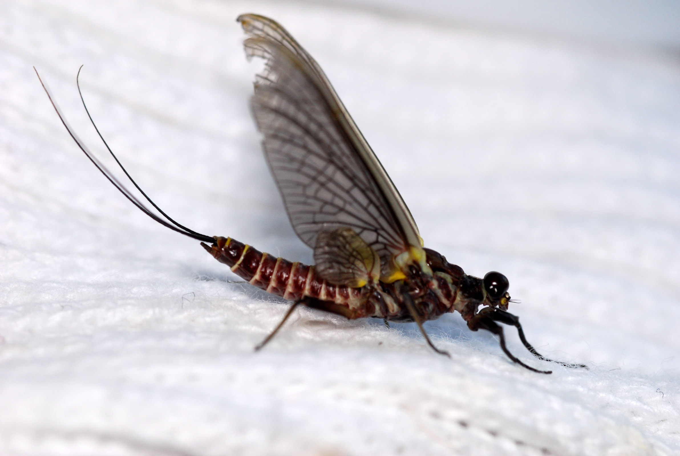 Drunella grandis (Western Green Drake) Mayfly Adult from Rock Creek in Montana