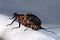Drunella grandis (Western Green Drake) Mayfly Adult