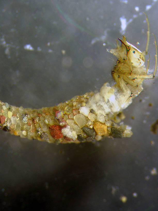 Oecetis (Long Horn Sedges) Caddisfly Nymph from the Flathead River-lower in Montana