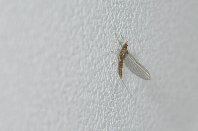 Female Baetis (Blue-Winged Olives) Mayfly Dun from the Touchet River in Washington