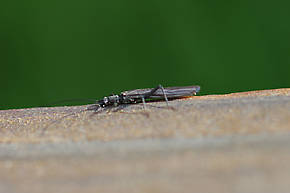 Perlomyia utahensis (Little Black Needlefly) Stonefly Adult