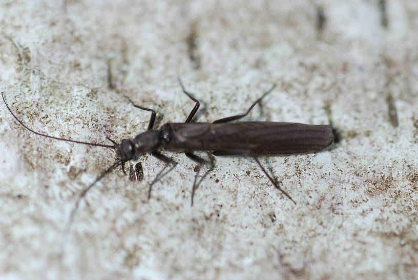 Perlomyia utahensis (Little Black Needlefly) Stonefly Adult from Roy's Creek in Montana