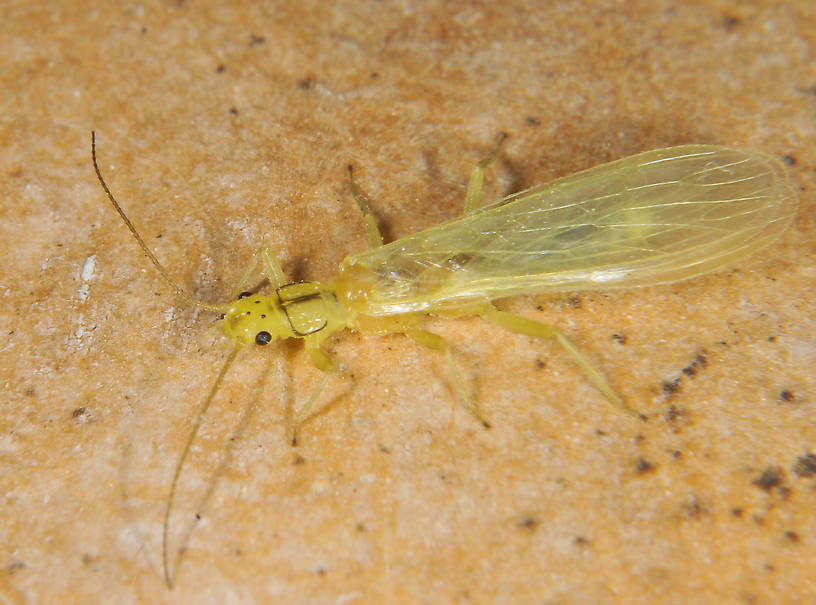 Suwallia pallidula (Sallfly) Stonefly Adult from the Touchet River in Washington