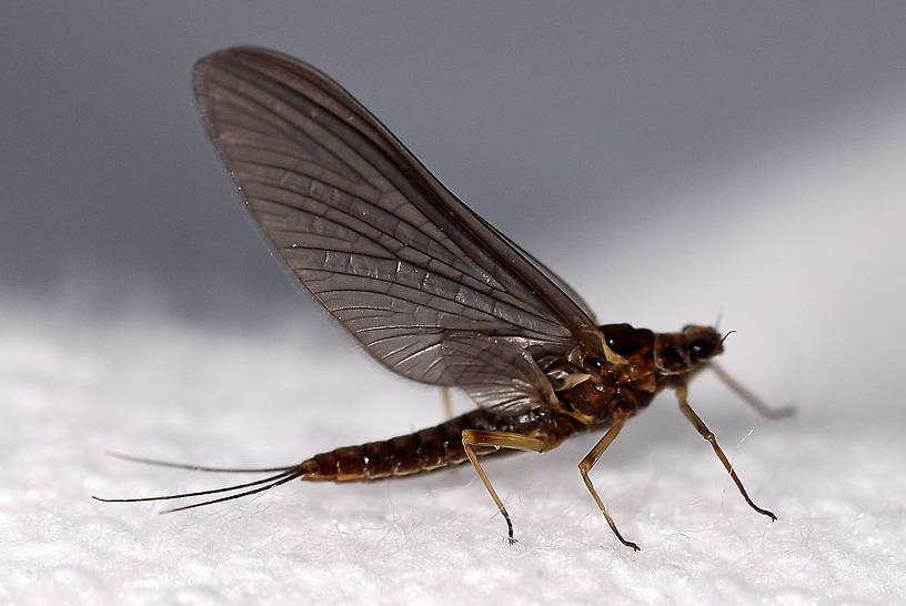 Female Ephemerella tibialis (Little Western Dark Hendrickson) Mayfly Dun from Crazy Beaver Spring in Montana