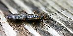 Kathroperla perdita (Sallfly) Stonefly Adult from Teepee Creek in Montana
