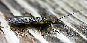Kathroperla perdita (Sallfly) Stonefly Adult