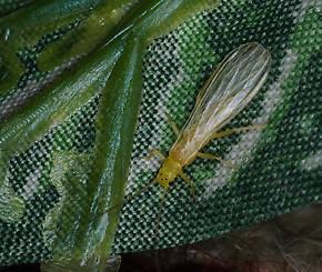 Sweltsa (Sallflies) Stonefly Adult