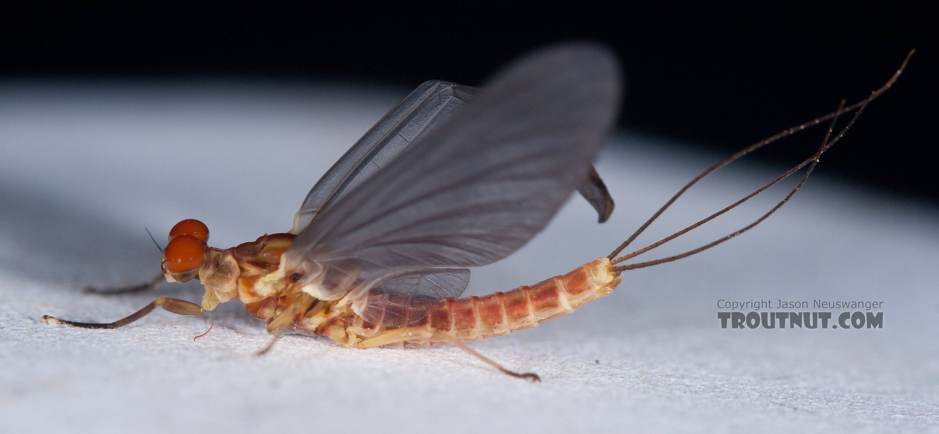 Male Ephemerella aurivillii Mayfly Dun from Nome Creek in Alaska