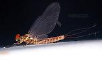 Male Ephemerella aurivillii  Mayfly Dun