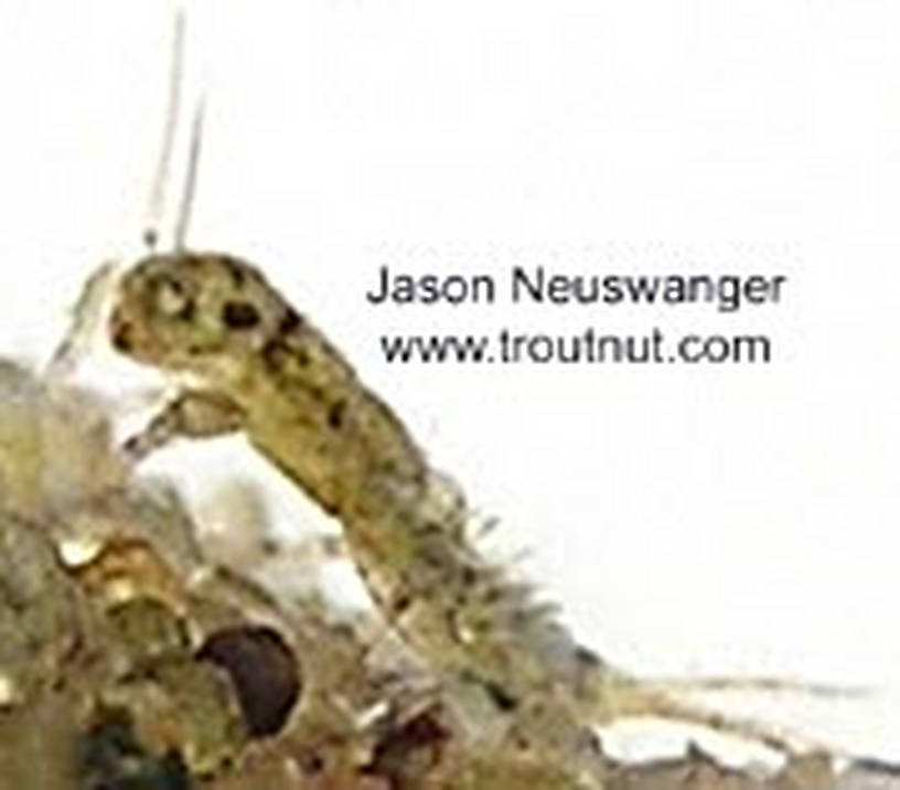 Ephemerella invaria (Sulphur Dun) Mayfly Nymph from unknown in Wisconsin
