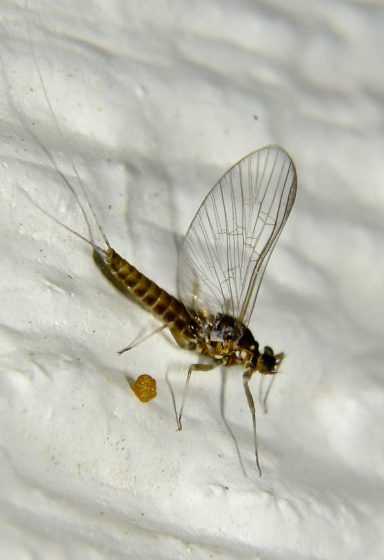 Female Baetis (Blue-Winged Olives) Mayfly Spinner from the Touchet River in Washington