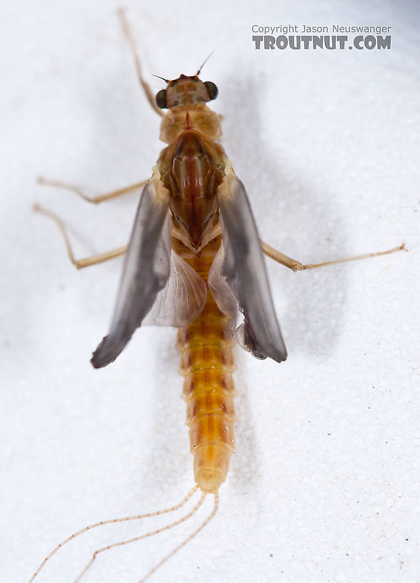 Female Ephemerella aurivillii Mayfly Dun from Nome Creek in Alaska