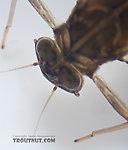 Cinygmula ramaleyi (Small Western Gordon Quill) Mayfly Nymph