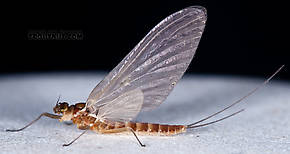 Cinygmula (Dark Red Quills) Mayfly Dun