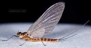 Female Cinygmula ramaleyi (Small Western Gordon Quill) Mayfly Dun