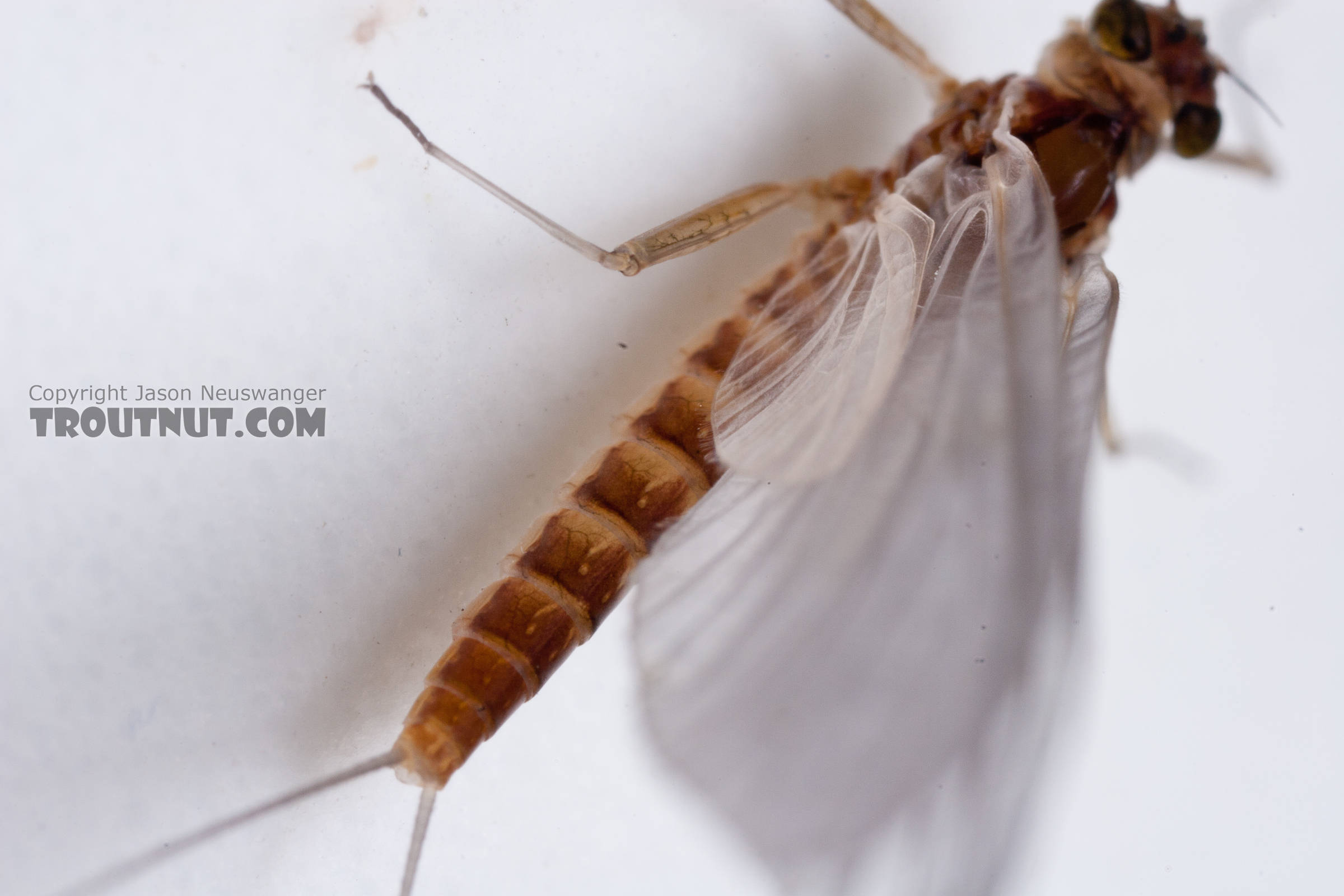 Female Cinygmula ramaleyi (Small Western Gordon Quill) Mayfly Dun from Nome Creek in Alaska