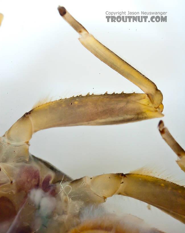 Drunella doddsii (Western Green Drake) Mayfly Nymph from Nome Creek in Alaska