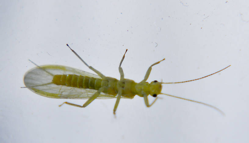 Sweltsa fidelis (Sallfly) Stonefly Adult from Swamp Creek in Oregon