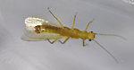 Sweltsa fidelis (Sallfly) Stonefly Adult from Swamp Creek in Oregon